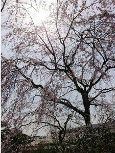 北門枝垂れ桜